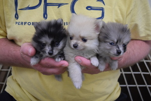 Pomeranian Puppy for sale in MACON, GA, USA