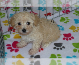 Poodle (Toy) Puppy for sale in ORO VALLEY, AZ, USA