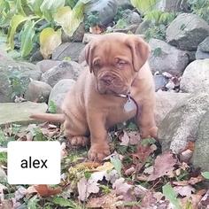 Dogue de Bordeaux Puppy for sale in LANSING, MI, USA