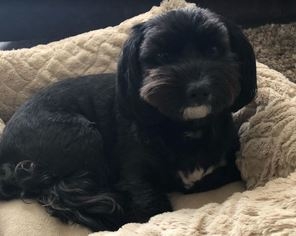 Havanese Dog For Adoption in RALEIGH, NC, USA
