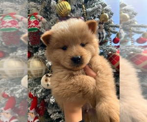 Chow Chow Puppy for sale in HILLTOP MALL, CA, USA