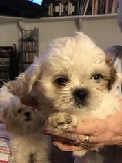 Shih Tzu Puppy For Sale in GARDEN GROVE, CA, USA