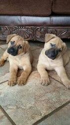 View Ad Cane Corso German Shepherd Dog Mix Puppy For Sale Michigan