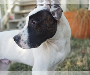 American Pit Bull Terrier Puppy for sale in CO SPGS, CO, USA