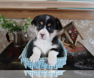 Pembroke Welsh Corgi Puppy for sale in PITTSBURGH, PA, USA