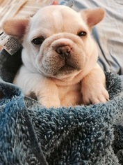 View Ad French Bulldog Litter Of Puppies For Sale Near Illinois