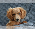 Small #8 Cavapoo