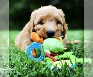 Labradoodle Puppy for Sale in BURTON, Ohio USA