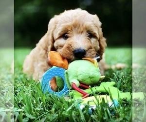Labradoodle Puppy for Sale in BURTON, Ohio USA