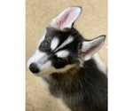 Small Photo #3 Siberian Husky Puppy For Sale in MORGANTOWN, IN, USA
