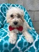 Schnoodle (Miniature) Puppy For Sale in EAST EARL, PA, USA