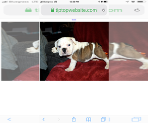 English Bulldogge Puppy for sale in GLASGOW, KY, USA