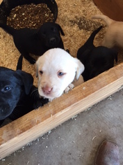 Labrador Retriever Puppy For Sale in VISTA, CA