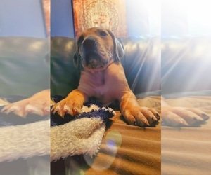 Great Dane Puppy for sale in CLARKSVILLE, TN, USA