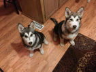 Alusky Puppy For Sale in BEND, OR