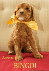 Australian Labradoodle Puppy For Sale in ANDOVER, MN, USA