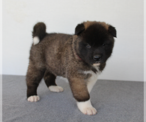 Akita Puppy for sale in FRESNO, OH, USA