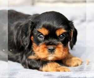 Cavalier King Charles Spaniel Puppy for sale in SUNBURY, PA, USA