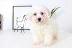 Lennon Male Bichon Puppy