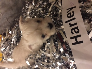 Maltese Puppy For Sale in LEXINGTON, KY