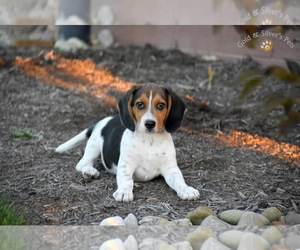 Beagle Puppy for sale in BEAVER CREEK, OH, USA