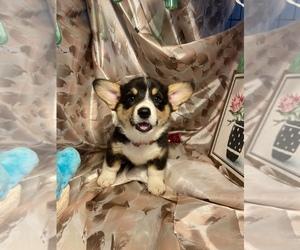 Pembroke Welsh Corgi Puppy for Sale in BEMIDJI, Minnesota USA