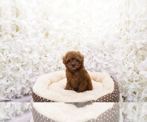 Poodle (Toy) Puppy for Sale in FULLERTON, California USA