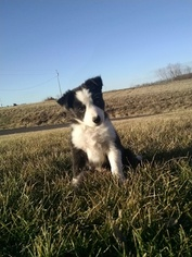 Border Collie Puppy For Sale in PLATTSBURG, MO