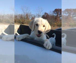 Labradoodle Puppy for sale in HEBRON, IN, USA