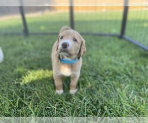 Labradoodle Puppy for Sale in CASTLE ROCK, Colorado USA