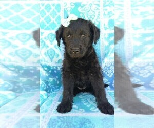 Labradoodle Puppy for sale in EDEN, PA, USA