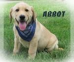 Labrador Retriever Puppy For Sale in ELVERSON, PA, USA
