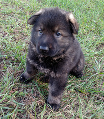 German Shepherd Dog Puppy For Sale in PIERSON, MI