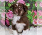 Puppy 8 Australian Shepherd