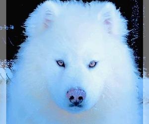 Siberian Husky Puppy for Sale in ANACONDA, Montana USA