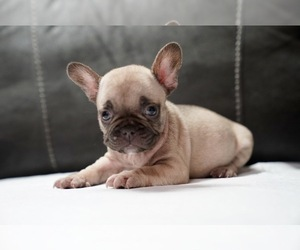 French Bulldog Puppy for Sale in SAN JOSE, California USA