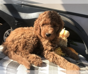 Goldendoodle-Irish Doodle Mix Puppy for sale in N HIGHLANDS, CA, USA