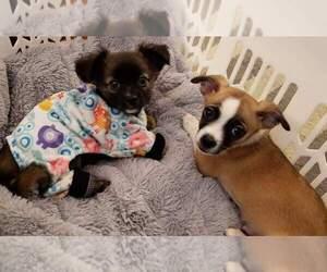Chihuahua Puppy for sale in CHESAPEAKE, VA, USA