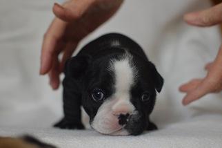 French Bulldog Puppy For Sale in WINNETKA, CA