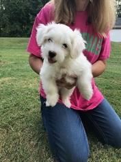 Coton de Tulear Puppy For Sale in MEMPHIS, IN, USA