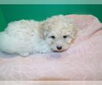 Puppy 2 Bichon-A-Ranian-Poodle (Standard) Mix