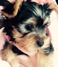 Yorkshire Terrier Puppy For Sale in HOUSTON, TX