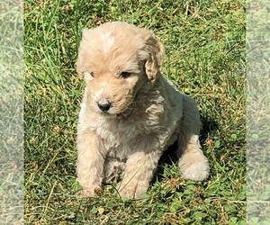 Poodle (Standard) Puppy for Sale in WAYLAND, Iowa USA