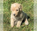 Poodle (Standard) Puppy For Sale in WAYLAND, IA, USA