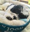Cavachon Puppy For Sale in GREENVILLE, RI, USA