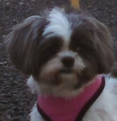 Shih Tzu Dog For Adoption in ROUGEMONT, NC, USA