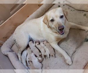 Labrador Retriever Puppy for sale in WESTMINSTER, MD, USA