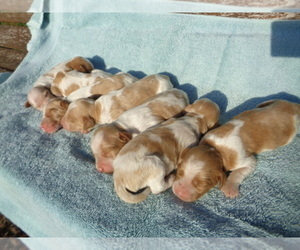 Brittany Puppy for Sale in CULPEPER, Virginia USA