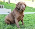 Small Photo #3 Labrador Retriever Puppy For Sale in FREDERICKSBG, OH, USA