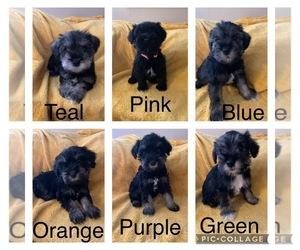 Schnauzer (Miniature) Puppy for sale in CLINCHPORT, VA, USA